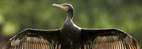 Der Kormoran wird als fischfressender Vogel von Fischern und Anglern als Konkurrenz angesehen.