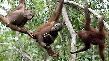 50.000 von ihnen gibt es noch in der schrumpfenden Wildnis von Borneo.