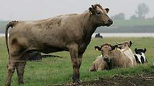Hochleistungstiere und Methanrülpser: Kühe, Kälber, Ochsen