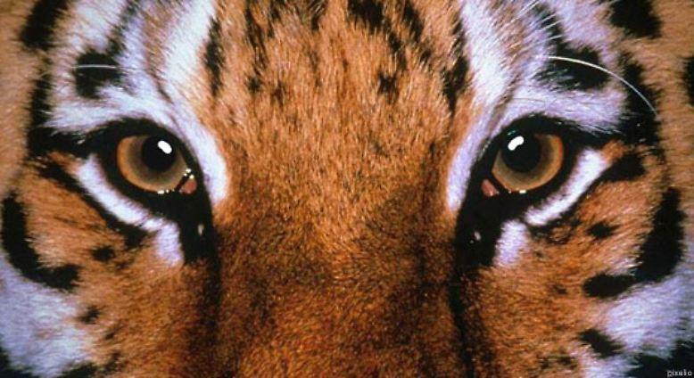"""Ein internationales Forscherteam schlägt im Fachblatt """"Current Biology"""" Alarm: Nur noch rund 3000 Tiger leben in freier Wildbahn."""