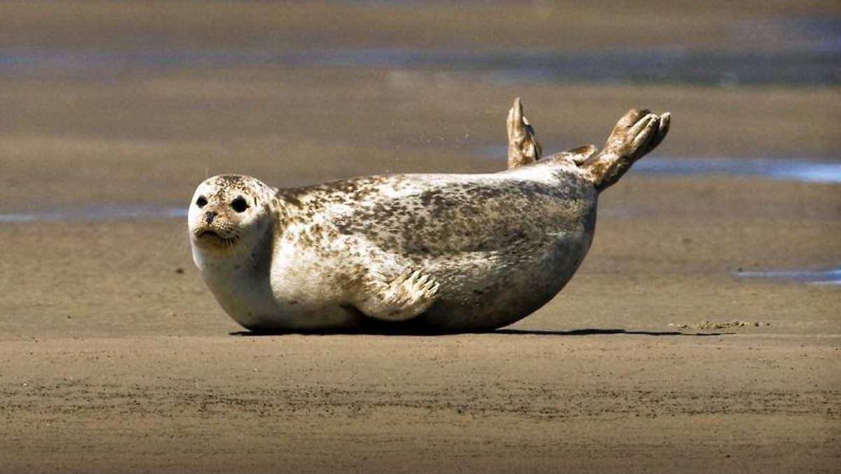 Erfreuliches im Wattenmeer: Seehund-Bestand erholt sich