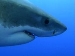 Erich Ritter bezeichnet Haie auch als Augentiere.