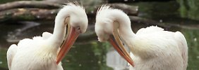 Flirtende Pelikane im Berliner Zoo