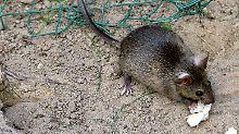 Eine in Freiheit lebende Ratte.