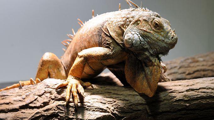 Leguane können bis zu zwei Meter lang werden.