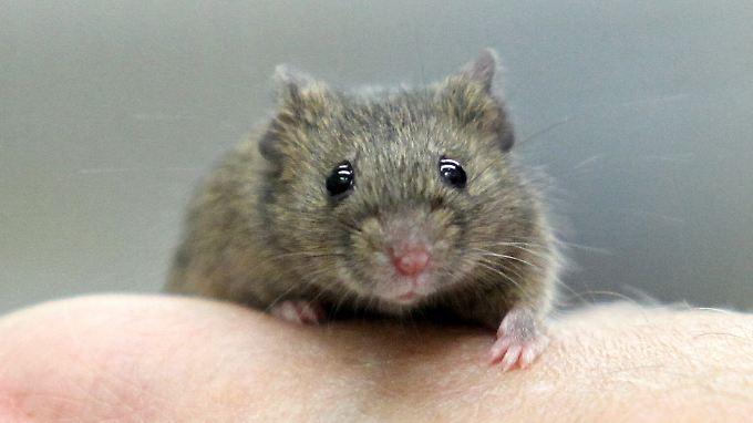 Laut einer Studie können die Ergebnisse von mit Mäusen vorgenommen Versuchen oft nicht auf Menschen übertragen werden.