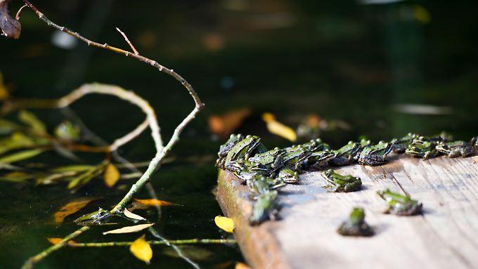 Tummelt sich nur eine Froschart im Teich, haben Krankheiten leichtes Spiel.