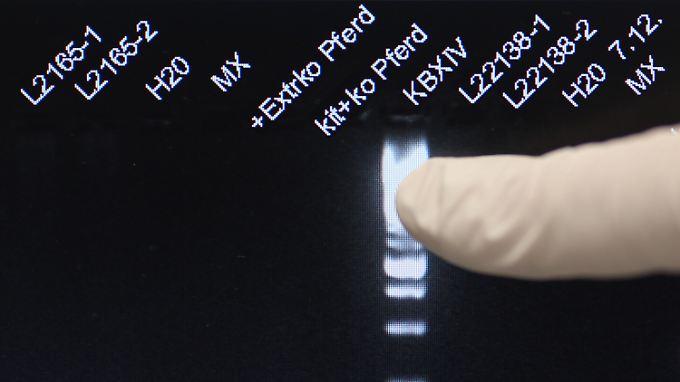 Mit umfangreichen DNA-Tests will die EU den Pferdefleisch-Skandal lösen.