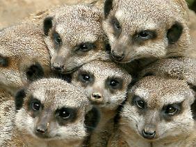 Erdmännchen leben in Kolonien mit bis zu dreißig Tieren.