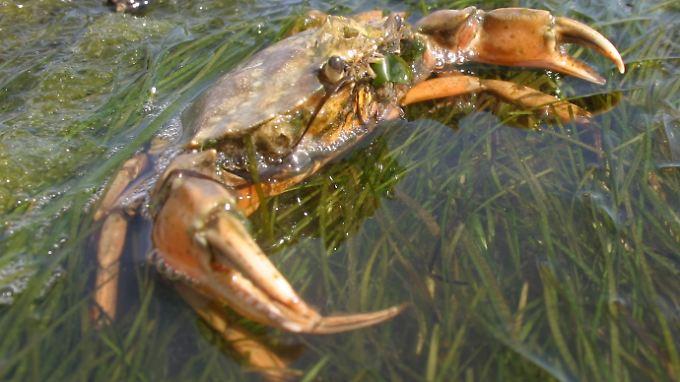 Auch wenn keine Ohren zu sehen sind: Krabben mögen's ruhig.