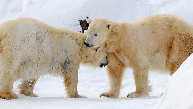 Noch etwa 25.000 Eisbären soll es in freier Wildbahn geben.