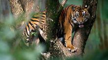 Vier Tage mit Regenwasser und SMS: Tiger treiben Männer auf Bäume
