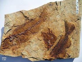 Die Fossilien aus acht Fundstellen sind zwischen zehn und zwölf Millionen Jahre alt.