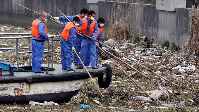 Schweinekadaver werden aus dem Huangpu Fluss in Schanghai. herausgefischt. Im März wurden 1200 tote Schweine an Land gebracht und die Kadaver dekontaminiert.