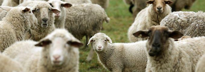 Saisonales Geschäft: Lammfleisch gab es früher nur im Frühling.