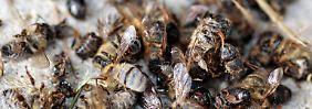 Untersuchung zum Bienensterben: Greenpeace will Pestizid-Verbot