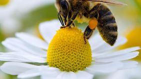 Bienenvölker sterben immer häufiger. das bedroht die gesamte Pflanzenwelt.
