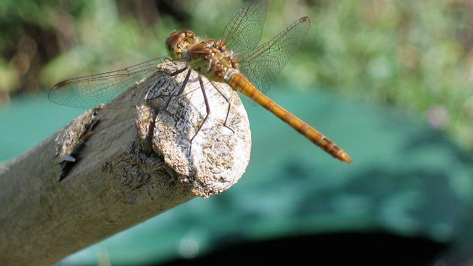 Libelle, die sich ein sonniges Fleckchen  sucht: Diese zarten Tiere leiden besonders unter dem Einsatz von Pestiziden.