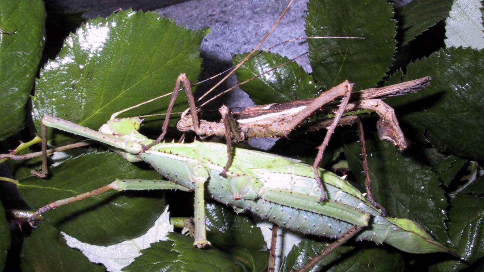 größte insekt der welt