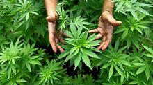 Marihuana als Waffe im Kampf gegen die Drogenkartelle: Uruguay stimmt für Legalisierung