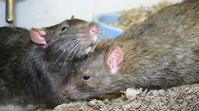Ratten erschnüffeln den Angstschweiß ihrer Mütter.