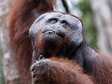 Brüllen im Urwald: Orang-Utans haben Pläne