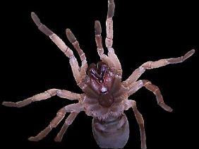 """Ihr Gift könnte in Zukunft weltweit Ernteerträge schützen: Die australische Vogelspinne """"Selenotypus plumipes""""."""