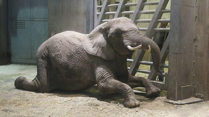 Die Elefantendame wurde perfekt auf die Geburt vorbereitet. Sogar Schwangerschaftstraining musste Bibi machen. Geholfen hat es nichts.