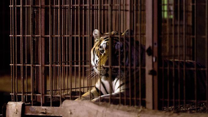Tödliche Attacke auf Tierpfleger: Tiger Rasputin soll am Leben bleiben