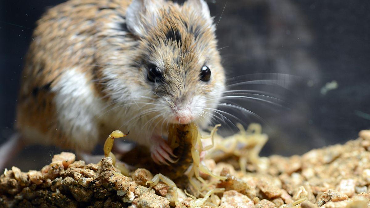 Schmerzbefreite Maus frisst Skorpion