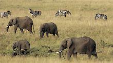 Eines der letzten Naturschauspiele Afrikas ist durch den Bau gefährdet. (Elefanten und Zebras im Masai Mara Nationalpark in Kenia)