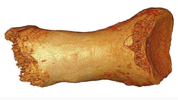 Zehenknochen einer Neandertalerfrau, der in der Denisova-Höhle im russischen Altaigebirge nahe der Grenze zu Kasachstan und der Mongolei ausgegraben wurde.