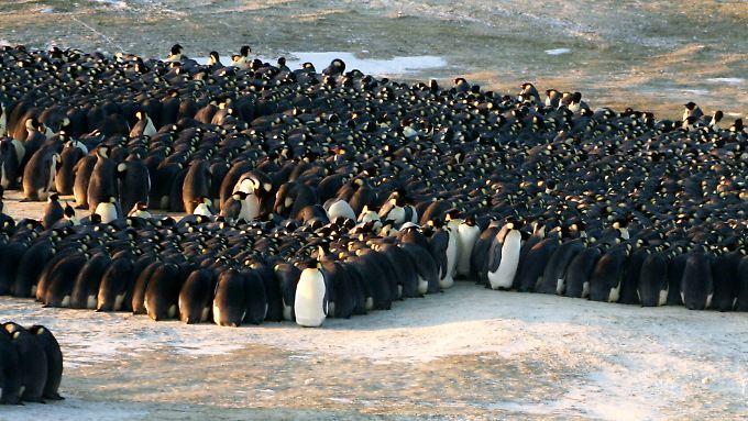 Während die Pinguinweibchen auf Jagd sind, schützen die Männchen dichtgedrängt den Nachwuchs.