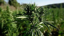 Hier wächst die Hanfplanze, aus der die Droge gewonnen wird gut - wie das recht anspruchslose Gewächs fast überall gedeiht.