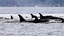 Japan und Norwegen blockieren: Kommission lehnt Walschutzgebiet ab