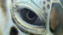 Die Zukunft der Meeresschildkröten ist ungewiss.