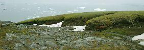 Extrem überlebensfähig: Moos erwacht nach 1500 Jahren im Eis