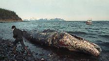 Doch den höchsten Preis zahlte die Natur. Mehr als eine Viertelmillion Seevögel starben, genauso wie viele Otter, Seehunde und Wale.