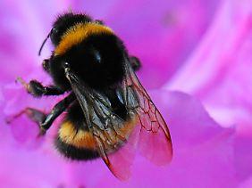 Bestäubende Insekten wie Hummeln sorgen dafür, dass sich Pflanzen vermehren können.