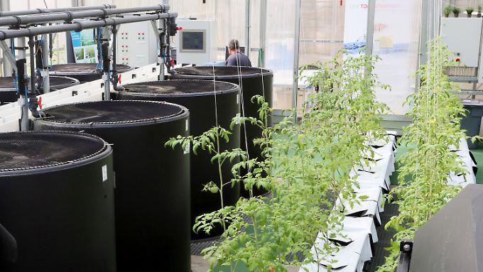 """Fischbassins und Tomatenpflanzen in einem Forschungsgewächshaus im Leibnitz-Institut für Gewässerökologie in Berlin: Sie werden in dem Projekt """"Tomatenfisch"""", bei dem durch ein Aquaponik-System Fischzucht und erdfreie Pflanzenzucht kombiniert wird, eingesetzt."""