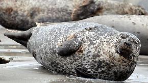 Gute Nachricht des Tages: Zahl der Seehunde im Wattenmeer nimmt zu