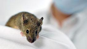 Für ihre Studie verbanden die US-Wissenschaftler chirurgisch die Blutkreisläufe zweier verschieden alter Mäuse. Das Verfahren ist in Deutschland verboten.