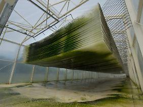 Algen tropfen durch Filtermatten in einem Foliengewächshaus des Instituts für Bio- und Geowissenschaften.
