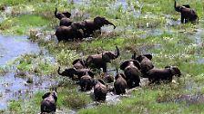 Gejagt wegen hohler Zähne: Elefanten - die sensiblen Dickhäuter