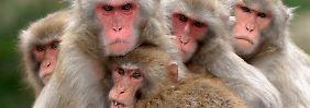 Katastrophe von Fukushima: Atom-Gau schädigt Blut von Affen