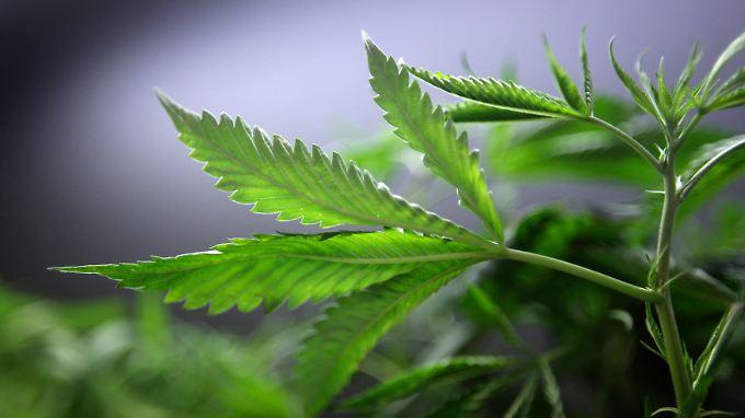 """Cannabis bringe vergleichsweise """"relativ geringfügige Probleme"""", schreibt die """"New York Times""""."""