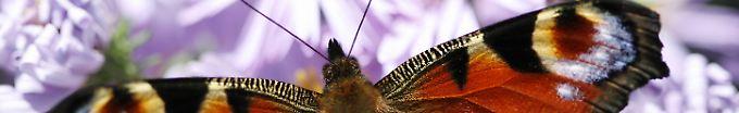 Das Tagpfauenauge ist einer der schönsten Schmetterlinge hierzulande.