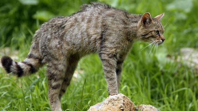 Eine Wildkatze in Kronberg (Hessen) beobachtet ihr Revier.