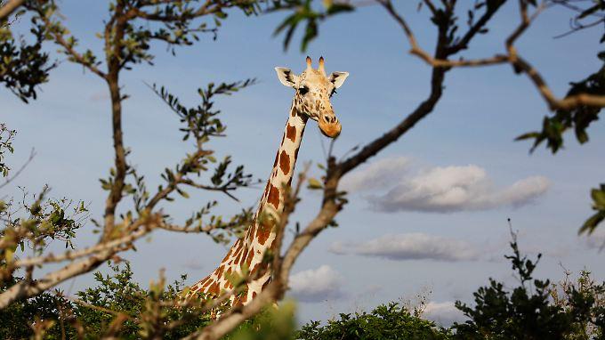 Eine Giraffe in der nigerianischen Savanne: Ihre Artgenossen sind womöglich weit entfernt. Doch Giraffenlaute überbrücken weite Distanzen.