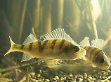 Mutiger und überlebensfähiger: Oxazepam verschafft Flussbarschen einen evolutionären Vorteil.